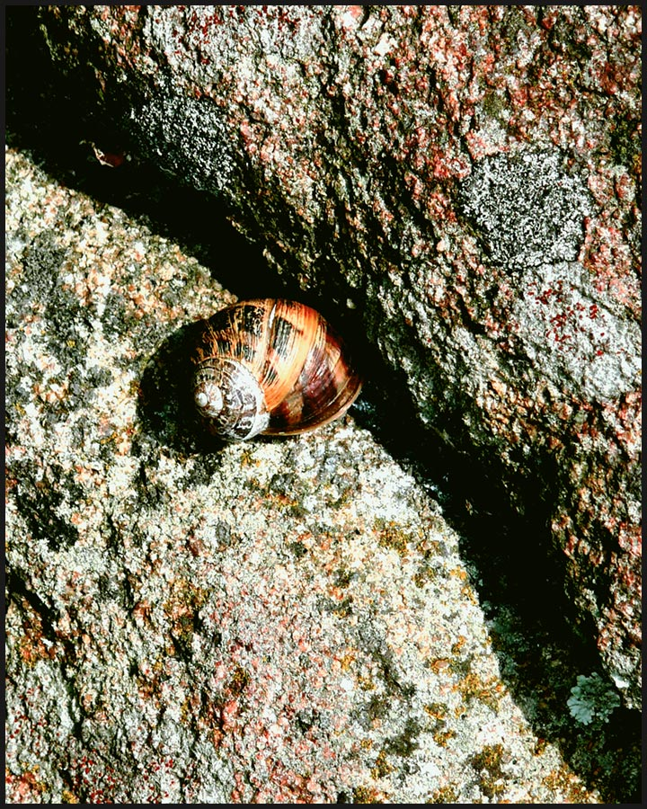 Snail on a Rock, Carnac, France (omit 8″ x 10″)
